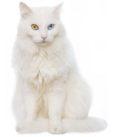 E' un gatto dal folto pelo bianco, i suoi occhi possono variare