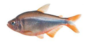 E' un pesce tropicale d'acqua dolce, e di colore marroncino o grigio chiaro con pinne arancioni.