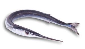 L'aguglia ha un corpo allungato con una bocca simile alla lama di un pesce spada