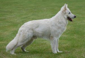 L'alopekis è un cane greco molto agile e veloce.