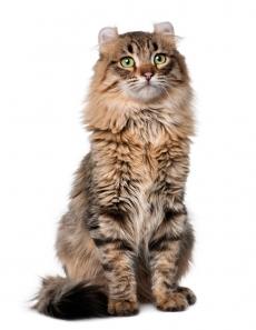 E' un gatto col pelo lungo