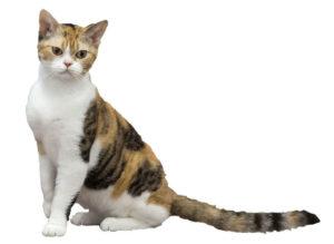 E' un gatto molto vivace, si trova negli stati uniti,.