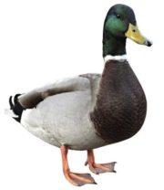 E un uccello acquatico, che vive nei fiumi, laghi anche stagni
