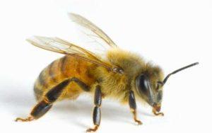 L'ape e di piccole dimensioni, si nutre di nettare e uno degli insetti più importanti per l'uomo