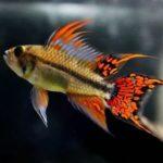 E' forse uno dei pesci più belli al mondo ha dei colori magnifici che variano dal rosso acceso al verde chiaro o addirittura al giallo fluorescente