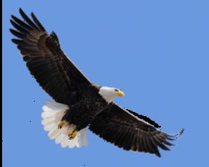 E' uno dei simboli degli stati uniti, ha la testa bianca come la coda e il corpo marrone