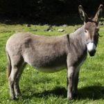 E' un mammifero che simile al cavallo, è un mammifero molto forte, utilizzato per il trasporto