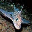 E' un pesce molto raro che si trova negli abissi