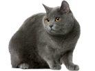 Ilcertosino è un gatto originario della Francia.