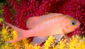 Castagnola rossa di colore rosso-rosa