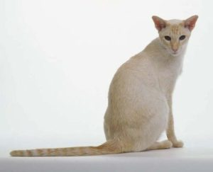 Il Colorpoint Shorthairè un gatto e originario degli Stati Uniti