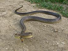 Ilcolubro dei Balcaniè un serpente che appartiene alla famiglia Colubridae