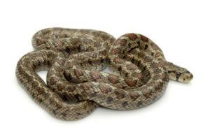 Il colubro leopardino è un serpente della famiglia Colubridae.