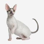 Il cornish rexè un gatto di origine britannica