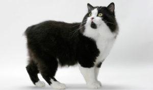 Ilcymricè un felino con le gambe posteriori più grandi rispetto alle anteriori
