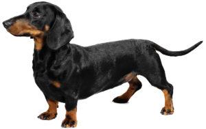 Il bassotto tedescoè una razza canina con un corpo molto allungato e con zampe piccole