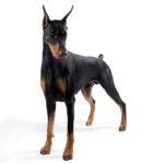 Il doberman è un cane molto atletico e agile per la sua statura