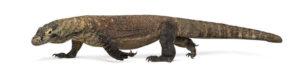 Il drago di komodo è una lucertola che si trova in indonesia