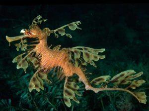 E' una specie di cavalluccio, abile nella mimetizzazione con la vegetazione marina.