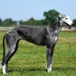 Il galgo espagnol è un cane proveniente dalla spagna