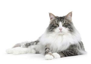 Il gatto delle foreste norvegesi è un gatto con una criniera molto folta che lo fa sembrare un leone