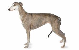 E' il cane più veloce al mondo