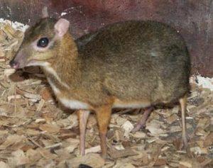 Il Kancil Malese ha il pelo corto