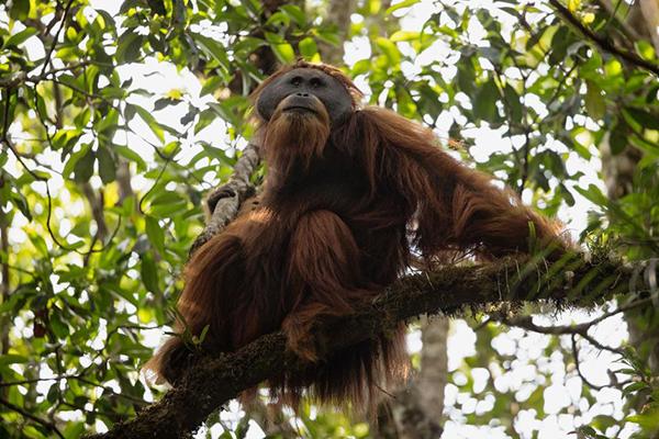 Orango del Borneo ha il pelo lungo