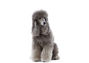 Il barbone è un cane di origine egizia