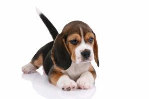 Il Beagle è un cane molto apprezzato in Inghilterra