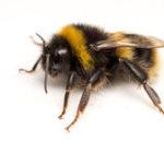 Bombo, simile al'ape ma più grosso