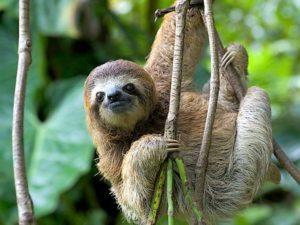 E'un animale che si muove lentamente forse è il più lento al mondo.