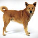 Il canaan dog è un cane molto vivace, ma diffidente con gli estranei.
