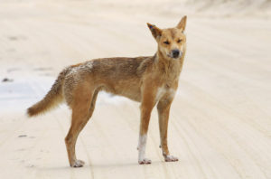 il dingo si trova in australia
