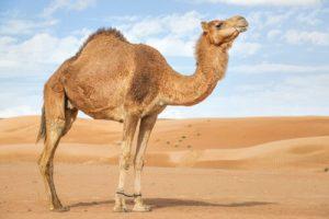 Il dromedario ha solo una gobba non come il cammello che ne ha 2