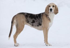 Il dunker è un cane molto robusto
