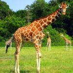 La giraffa ha macchie marroni e gialle
