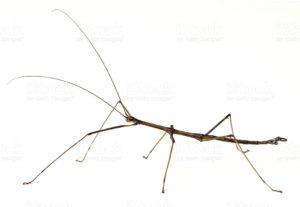 E uno degli insetti che si mimetizzano meglio