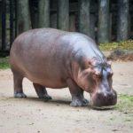 L' ippopotamo e uno dei mammiferi acquatici più grandi al mondo