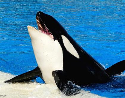 orca pesci marini