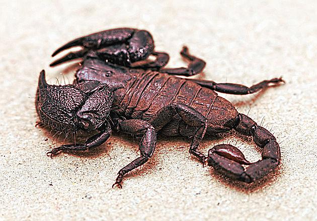 Scorpione del deserto