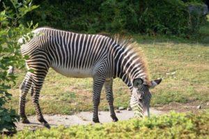 zebra al pascolo