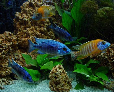 acquario ciclidi africani