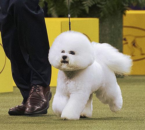 Westminster dog show: vince un bichon frisè