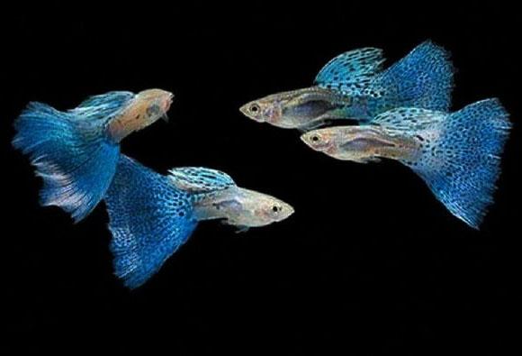 acquario guppy