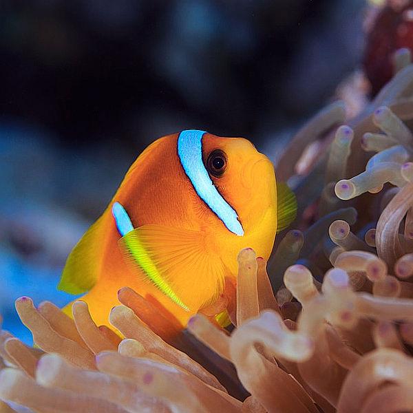 Il pesce pagliaccio