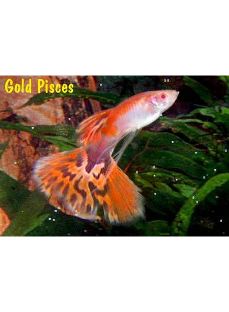 Guppy maschio chili red