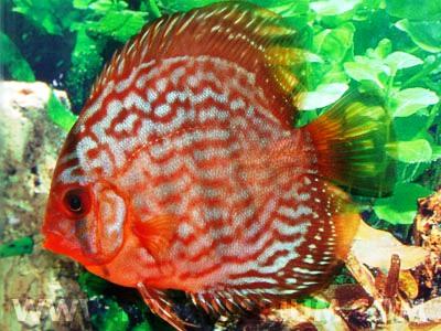 Discus Red Turquise 8 cm n. 1 Esemplare