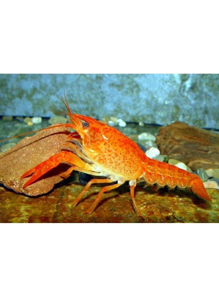 Procambarus clarkii bianco