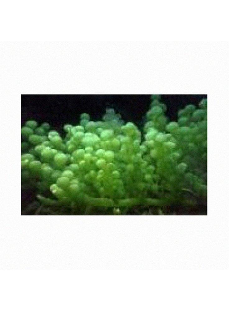 CAULERPA GREEN FAN LEAF